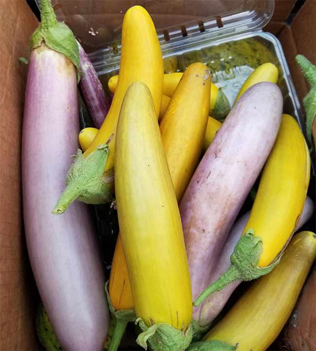 Asian Eggplants.jpg