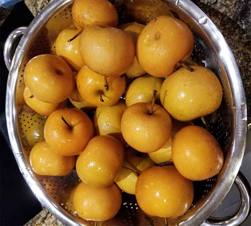 Asian Pear from Orchard.jpg