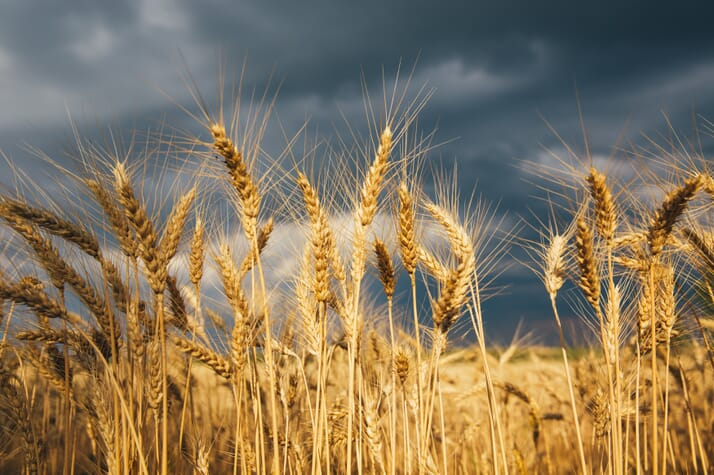 barley field.jpeg