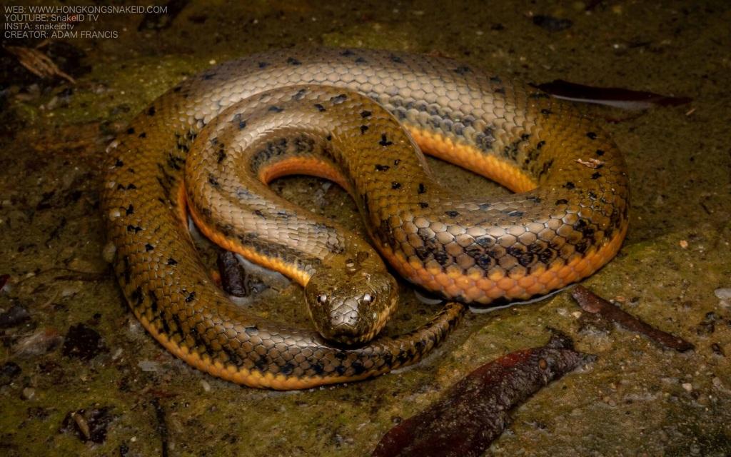 Chinese Water Snake - Enhydris chinensis.jpg