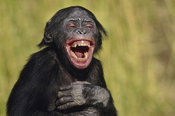 laughing-bonobo-360x240.jpg