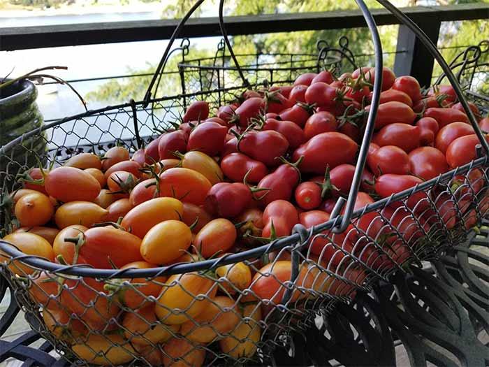 Tomatoes Garden.jpg