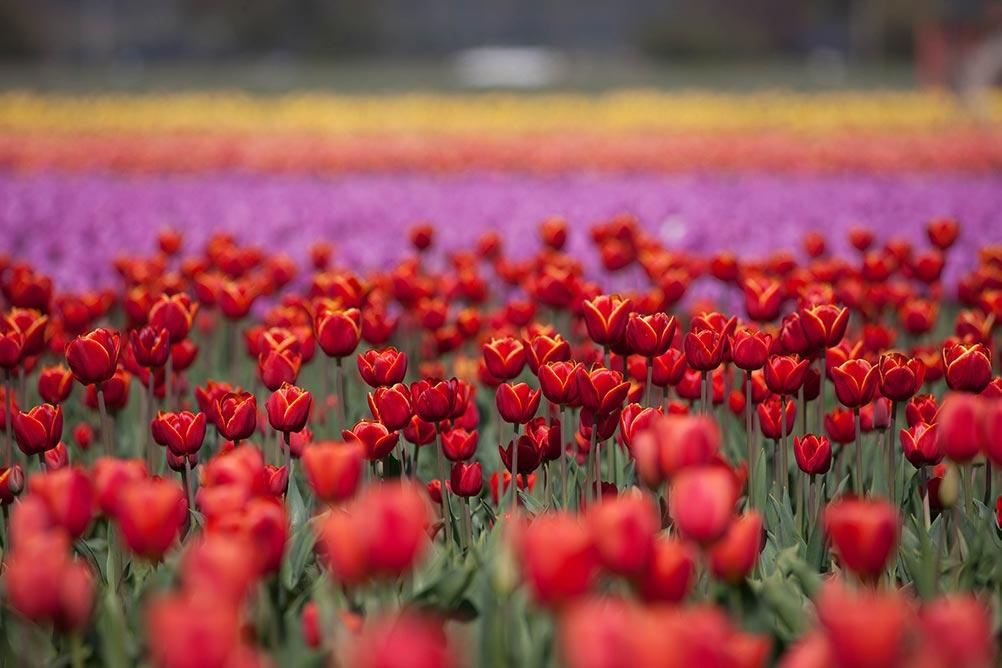 tulip gardens skagit valley.jpg